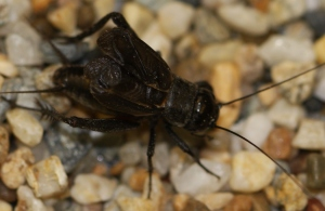 Gryllus pennsylvanicus: Fall field cricket