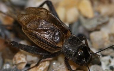 Gryllus texensis